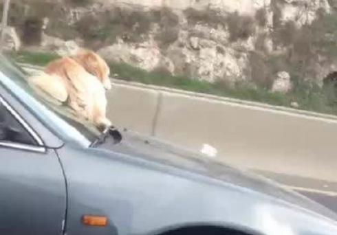 Capture d'écran montrant un chien collé sur le pare-brise d'une voiture roulant à toute vitesse sur l'autoroute de Nahr el-Kalb, dans le nord de Beyrouth.